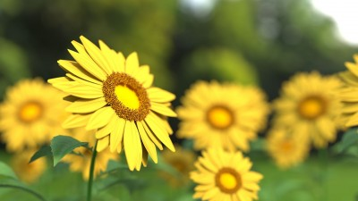 sunflower-1421011_1280